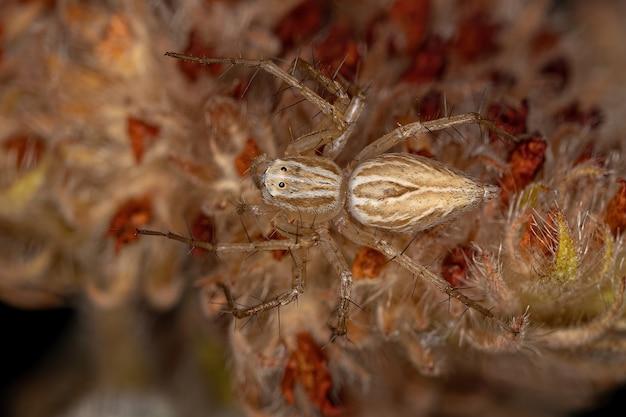 Araignée lynx à rayures du genre oxyopes