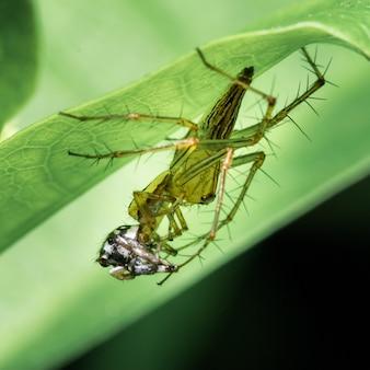 Araignée mangeant araignée