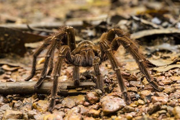 Araignée mangeuse d'oiseaux goliath, theraphosa blondi