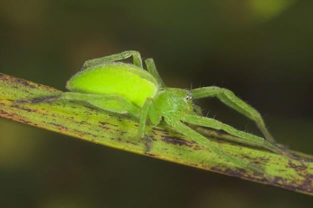 Araignée -micrommata virescens