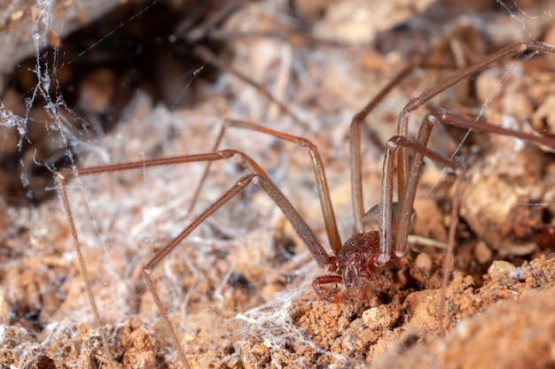 Araignée recluse sur son habitat naturel - danger araignée venimeuse