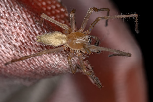 Araignée sac à longues pattes mâle adulte du genre cheiracanthium