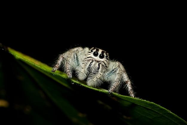 Araignée sauteur lourd femelle