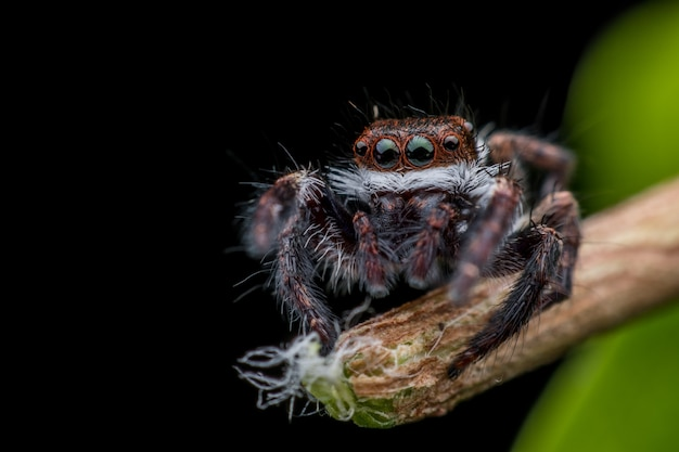 Araignée sauteuse sur une branche