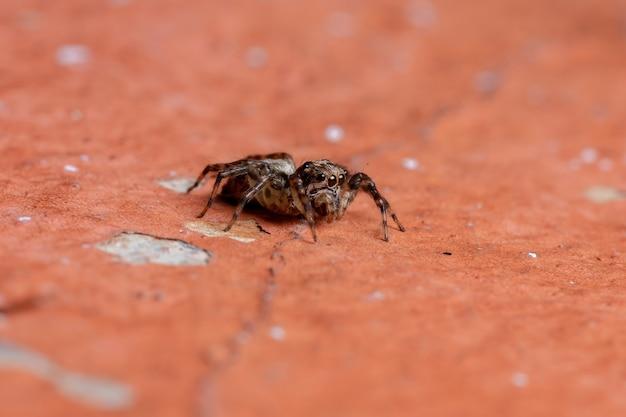 Araignée sauteuse femelle adulte de la tribu euophryini