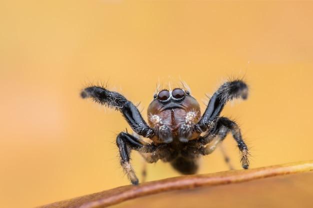 Araignée sauteuse sur feuille jaune