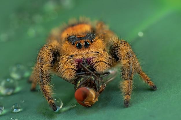 Araignée sauteuse sur une feuille verte