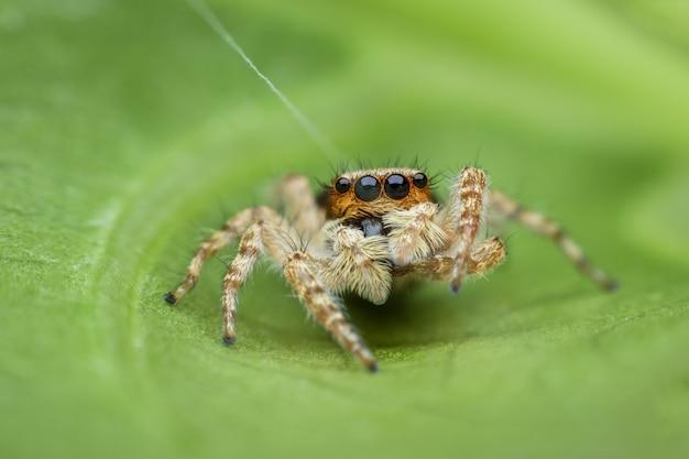Araignée sauteuse sur feuille verte