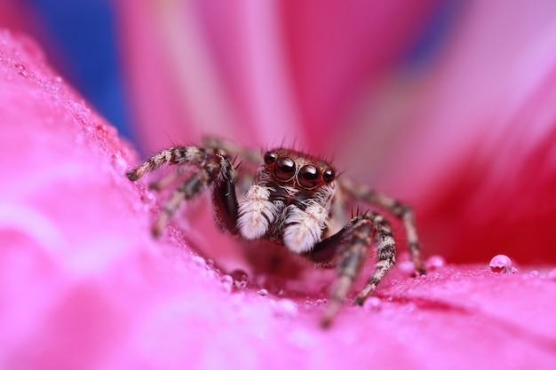 Araignée sauteuse et goutte d'eau sur une fleur rose dans la nature