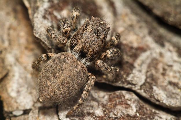Araignée sauteuse grise