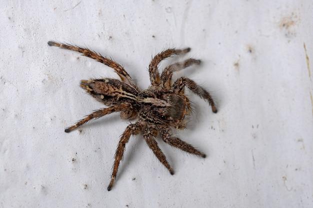 Araignée sauteuse pantropicale de l'espèce plexippus paykulli