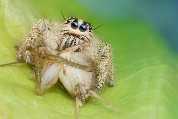 Araignée sauteuse et proie sur feuille verte dans la nature