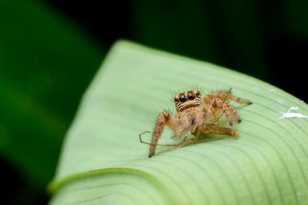 Araignée sauteuse avec proie