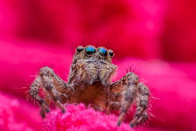 Araignée sauteuse se bouchent