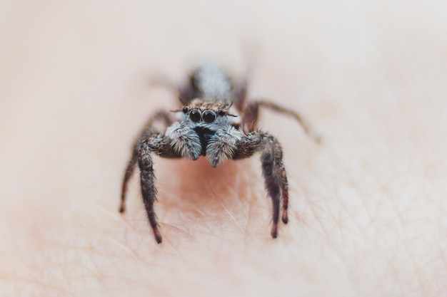 Araignée sauteuse
