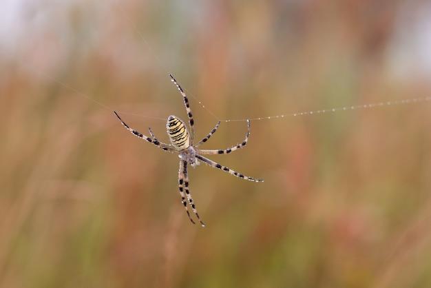 Araignée sauvage sur le net
