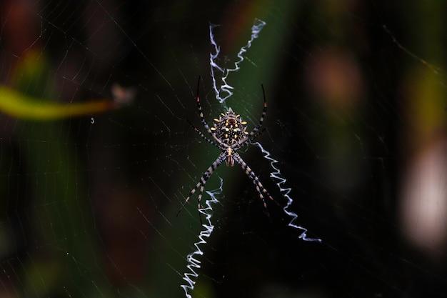 Araignée tigre dans sa toile d'araignée