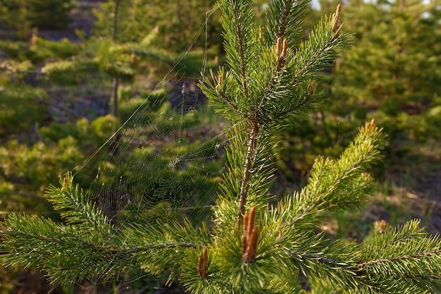 Une araignée tisse une toile sur un jeune pin. la toile entre les branches de pin