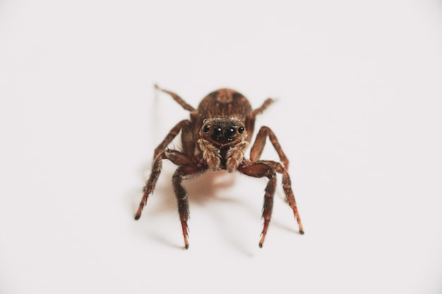 Araignée unique isolé sur fond blanc