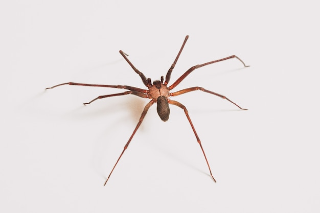 Araignée unique isolée sur fond blanc