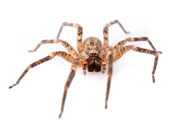 Araignées domestiques