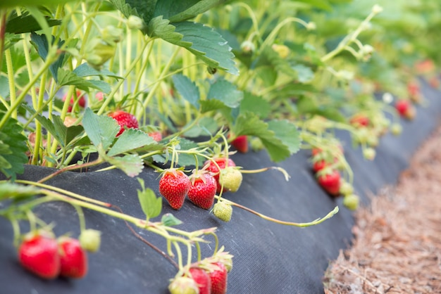 Arbousiers à la fraise avec de nombreuses baies rouges mûres. planter et cultiver des fraises écologiques à l'aide de technologies et d'équipements modernes