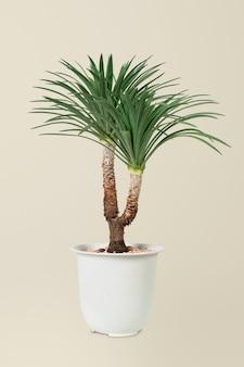 Arbre d'agave dans un pot blanc