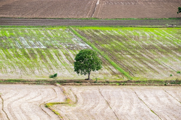 Arbre aride solitaire sur rizière