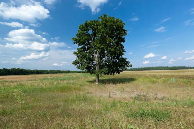 Arbre au feuillage vert contre un ciel bleu, un arbre poussant dans un champ pendant la saison estivale