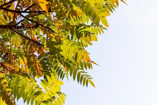 Arbre d'automne avec le feuillage a changé de couleur pendant la saison d'automne, gros plan d'arbres à feuilles caduques pendant la saison d'automne pendant la chute des feuilles, nature