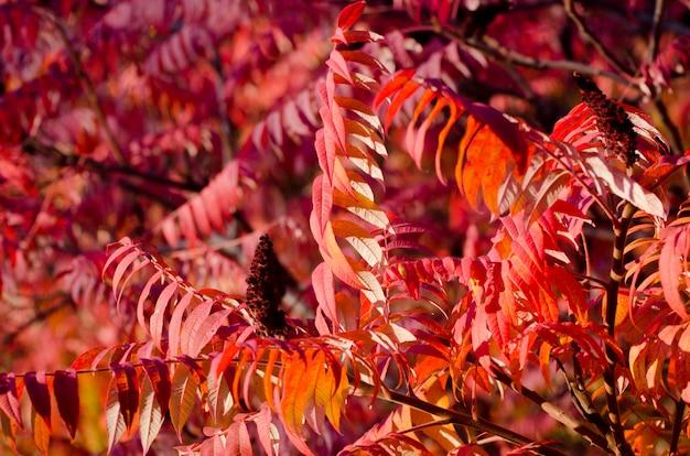 Arbre d'automne avec de grandes feuilles rouge vif.
