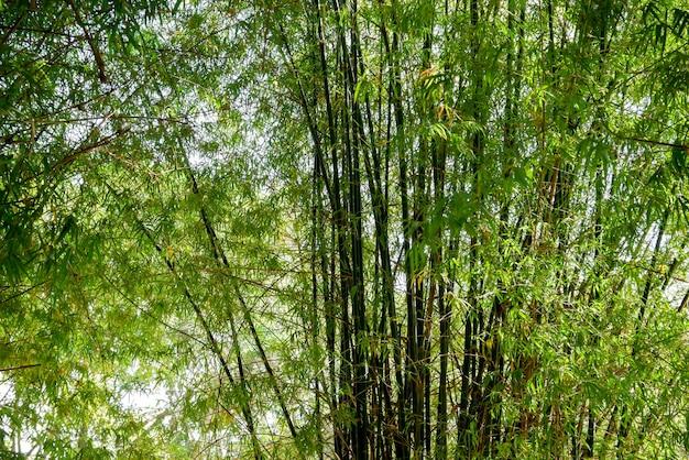 Arbre de bambou vert texture de fond