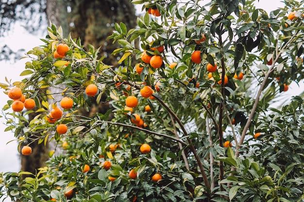 Arbre avec beaucoup de mandarines savoureuses