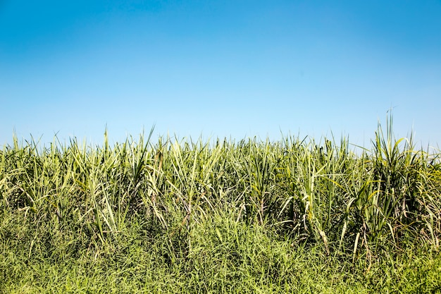 Arbre de canne à sucre haut vert avec ciel clair