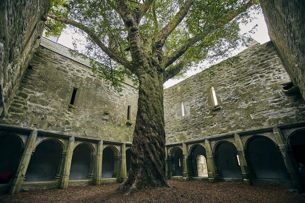Arbre dans la cour de l'abbaye de muckross sous la lumière du soleil dans le parc national de killarney, irlande