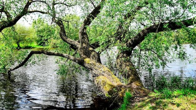 Arbre dans l'eau, vue panoramique sur le lac en forêt, le parc vert est l'heure d'été