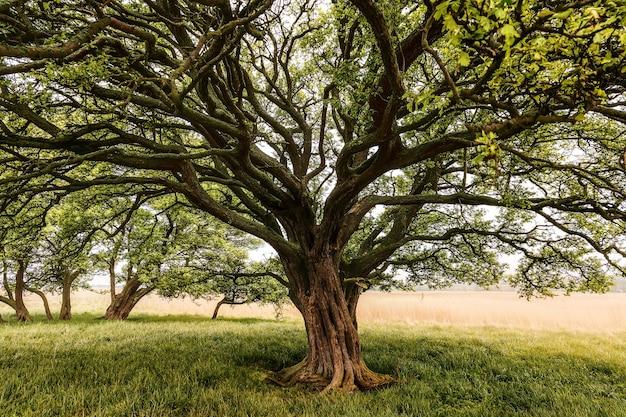 Arbre avec un énorme tronc d'arbre dans un champ