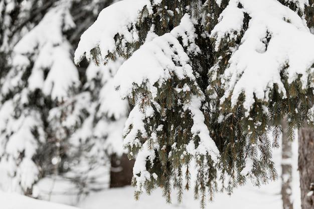 Arbre à feuilles persistantes dans la neige
