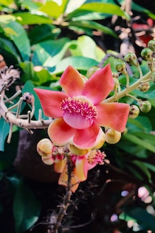 Arbre de fleur de boulet de canon ou arbre de sala ou shorea robusta.