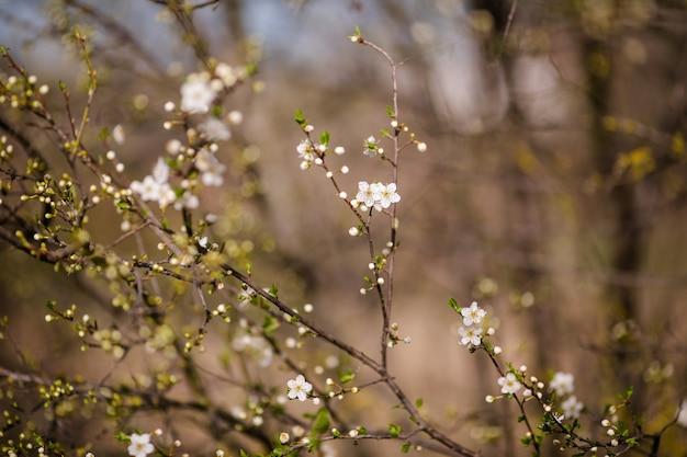 Arbre de fleur de cerisier avec fleur blanche. fond de printemps