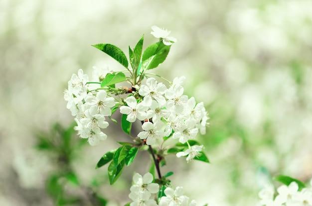 Arbre de fleur, fond nature printemps. journée ensoleillée. pâques et concept en fleurs.
