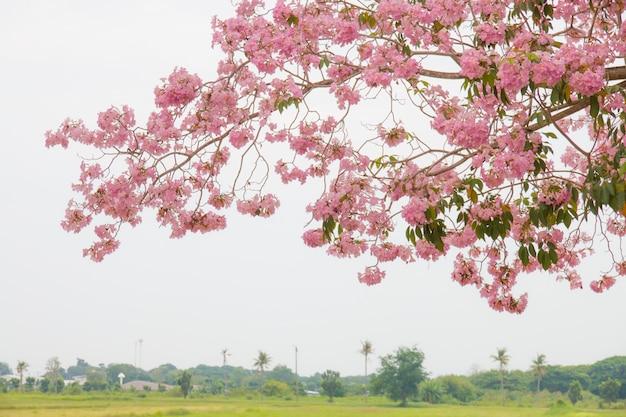 Arbre fleur rose avec pré en arrière-plan