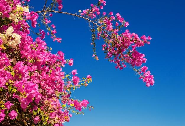 Arbre fleurissant avec des fleurs rouges sur fond de ciel bleu