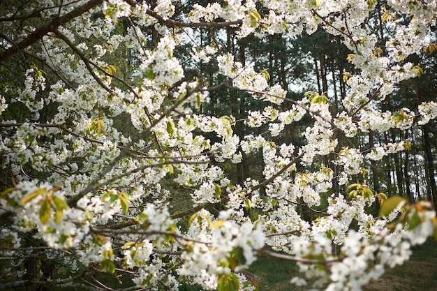 Arbre en fleurs blanches de sakura au printemps