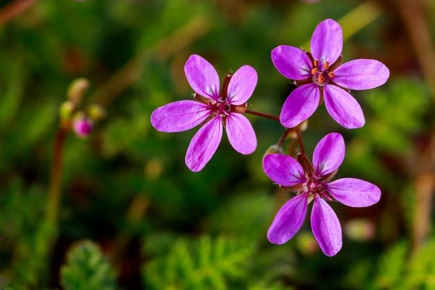 Arbre en fleurs avec des fleurs violettes au printemps. fermer.