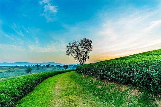 Arbre de forme de coeur avec paysage de plantation de thé à chiang rai, en thaïlande.