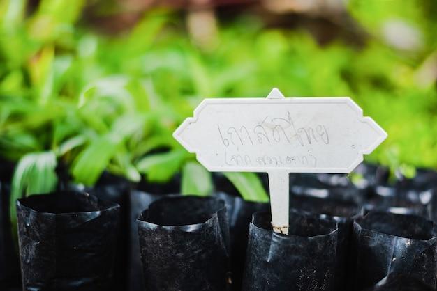 Arbre fruitier de châtaignier thaïlandais ou arbre fruitier de châtaignier chinois