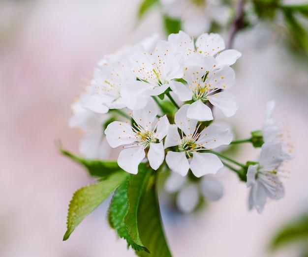 Arbre fruitier en fleurs dans le jardin.