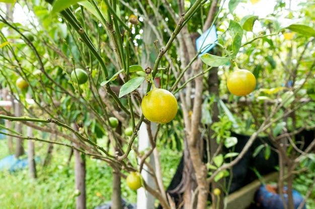 Arbre fruitier orange