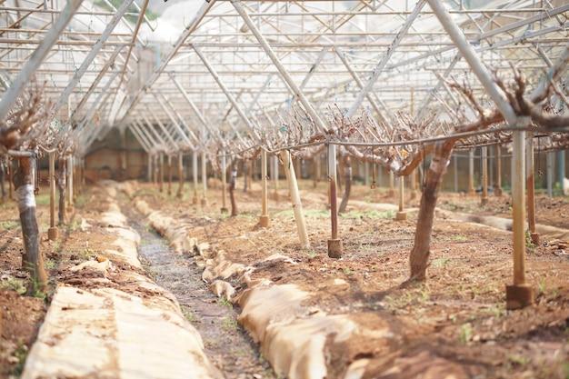 Arbre fruitier de raisin poussant dans la ferme viticole. verger viticole